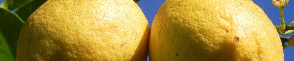 zitronenbaum-frucht-gelb-bluete-weiss-rinde-citrus-x-limon