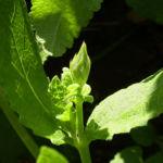 Zitronen Thymian Thymus x citriodorus 03