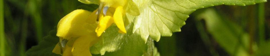 zottiger-klappertopf-bluete-gelb-rhinanthus-alectorolophus