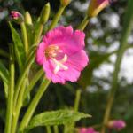 Zottiges Weidenroeschen Bluete pink Epilobium hirsutum 01