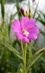 Zottiges Weidenroeschen Bluete pink Epilobium hirsutum 06