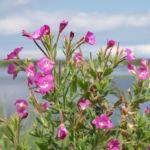 Zottiges Weidenroeschen Bluete rosa Epilobium Hirsutum 03