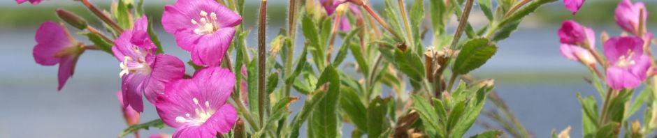 zottiges-weidenroeschen-bluete-rosa-epilobium-hirsutum