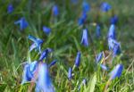 Zweiblaettriger Blaustern Bluete hell blau Scilla bifolia 12