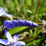 Zweiblaettriger Blaustern Scilla bifolia 03