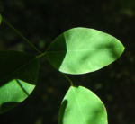 Zweifarbiger Buschklee Blatt gruen Lespedeza bicolor 03