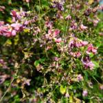 Zweifarbiger Buschklee Bluete pink Lespedeza bicolor 09