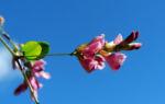 Zweifarbiger Buschklee Bluete pink Lespedeza bicolor 11
