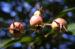 Zurück zum kompletten Bilderset Zweigriffeliger Weißdorn Crataegus laevigata