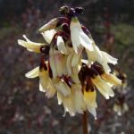 Zweizeilige Abeliophyllum Abeliophyllum distichum 01
