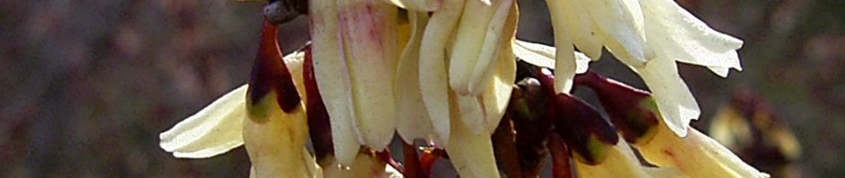 zweizeilige-abeliophyllum-bluete-hellgelb-abeliophyllum-distichum