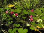 Zwerg Seerose Bluete rot Nymphaea Pygmaea rubra 02