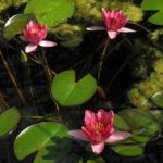 Zwerg Seerose Bluete rot Nymphaea Pygmaea rubra 06