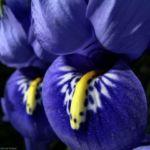 Zwergiris Iris reticulata 06 1