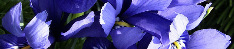 zwerg-iris-bluete-blau-iris-reticulata