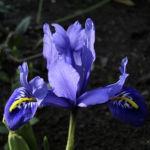 Zwergiris Iris reticulata 09