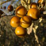 buschtomate bluete lila frucht orange solanum ellipticum 05