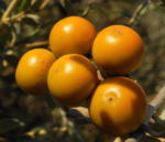 buschtomate bluete lila frucht orange solanum ellipticum 06