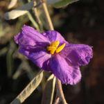 buschtomate bluete lila frucht orange solanum ellipticum 07