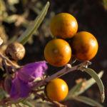 buschtomate bluete lila frucht orange solanum ellipticum 09