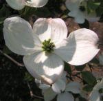 cornus florida 06