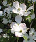 Bild:  Blüten-Hartriegel Strauch Blüte weiß Cornus florida