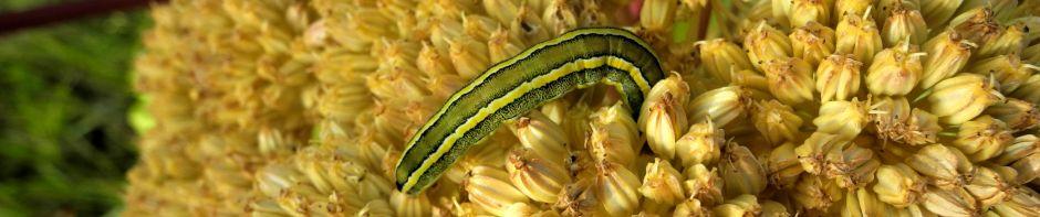 cropped Riesen Baerenklau Frucht gelb gruen Heracleum mantegazzianum 04.jpg