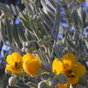 gewuerzrinden bluete gelb senna artemisioides 04
