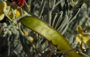 gewuerzrinden bluete gelb senna artemisioides 07