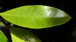 kirschmyrte scrub cherry frucht rosa bluete weiss syzygium paniculatum 06
