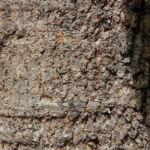 queensland strahlenaralie blatt gruen spreite rot schefflera actinophylla 05