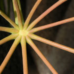 queensland strahlenaralie blatt gruen spreite rot schefflera actinophylla 06