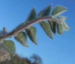 sturts wuestenerbse desert pea schote grau gruen swainsona formosa 06